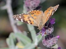 Målad dam Butterfly på en blomma Fotografering för Bildbyråer