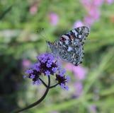 Målad dam Butterfly på en blomma Arkivfoto