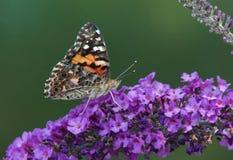 Målad dam Butterfly på fjärilen Bush royaltyfri fotografi