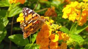 Målad dam Butterfly på LantanaCamara Flowers 02 ultrarapid