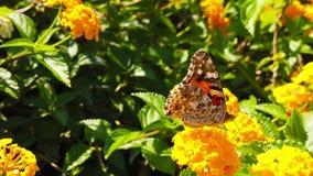 Målad dam Butterfly på LantanaCamara Flowers 14 ultrarapid