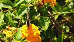 Målad dam Butterfly på LantanaCamara Flowers 17 ultrarapid