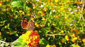 Målad dam Butterfly på LantanaCamara Flowers 10 ultrarapid