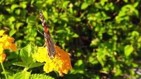 Målad dam Butterfly på LantanaCamara Flowers 04 ultrarapid