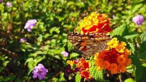 Målad dam Butterfly på LantanaCamara Flowers 08 ultrarapid