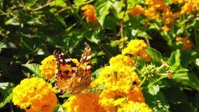 Målad dam Butterfly på LantanaCamara Flowers 16 ultrarapid