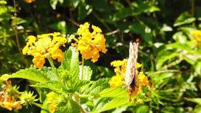 Målad dam Butterfly på LantanaCamara Flowers 13 ultrarapid