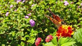 Målad dam Butterfly på LantanaCamara Flowers 20 ultrarapid