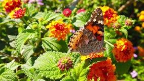 Målad dam Butterfly på LantanaCamara Flowers 21 ultrarapid