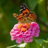 Målad dam Butterfly på rosa Zinnia Royaltyfria Foton