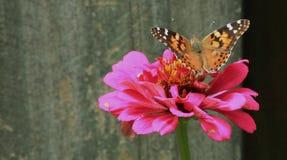 Målad dam Butterfly & rosa Zinnia royaltyfria foton