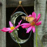 Målad dam Butterfly & 2 rosa zinnias royaltyfri foto