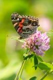 Målad dam på purpurfärgad växt av släktet Trifolium Royaltyfria Bilder