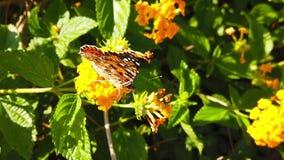 Målad damfjäril på ultrarapid för lantanacamarablommor