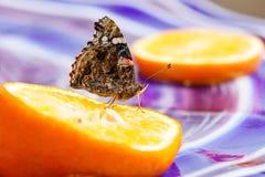 Målad damfjäril som dricker från orange skiva på den glass tabellen Arkivbilder