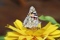 målad fjärilslady royaltyfria foton