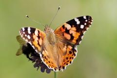 målad fjärilslady Arkivbild