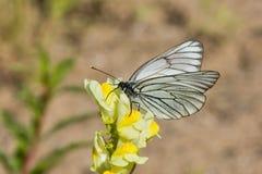målad fjärilslady Arkivfoto