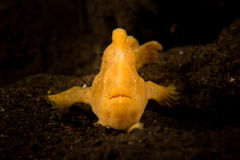 Målad frogfish - Antennarius pictus Royaltyfria Bilder