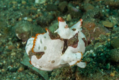 Målad frogfish i Ambon, Maluku, Indonesien undervattens- foto Arkivfoto