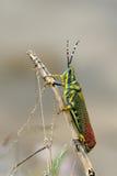 målad gräshoppa Arkivfoto