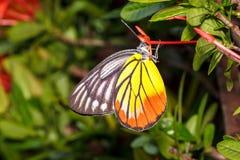 Målad Jezebel fjäril (indica Delias hyparete) Arkivbilder