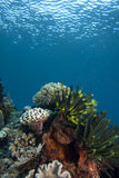 målad pictus för antennarius frogfish Arkivfoton