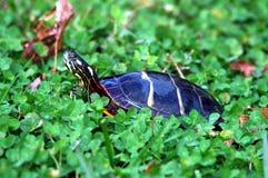 målad sköldpadda Royaltyfria Bilder