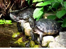 målad sköldpadda Royaltyfri Foto