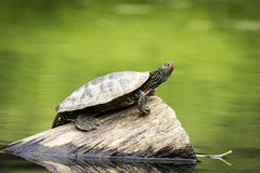 Målad sköldpadda på en solig dag Royaltyfri Foto