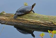 Målad sköldpaddareflexion Arkivfoto