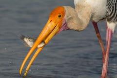 Målad stork med dess byte Arkivfoto