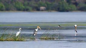 Målad stork och ägretthäger i den Arugam fjärdlagun, Sri Lanka Royaltyfria Bilder