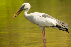 Målad storkfågel på fågelfristaden Fotografering för Bildbyråer
