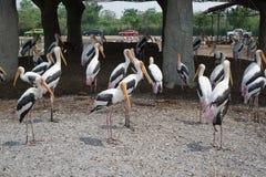 Målad storkgrupp på Safari World royaltyfria foton