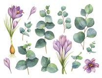 Målad uppsättning för vattenfärgvektor hand med eukalyptussidor och purpurfärgade blommor av saffran royaltyfri illustrationer