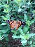 målad vanessa för fjärilscardui lady Arkivfoton