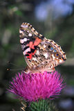 målad vanessavirginiensis för fjäril lady Royaltyfria Bilder