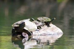 målade sköldpaddor Arkivbilder