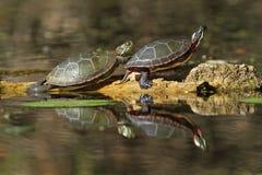 Målade sköldpaddor som reflekterar i vattnet Arkivfoton