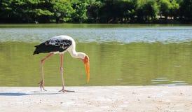 Målade storkar matar in grunda våtmarker arkivfoto