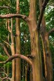 Målade träd maui hawaii Fotografering för Bildbyråer