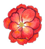 målande rose vattenfärg för red Arkivbild