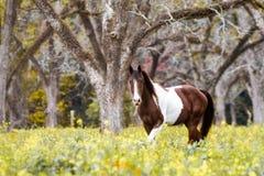 Målarfärghäst som betar i pecannötdunge royaltyfri fotografi