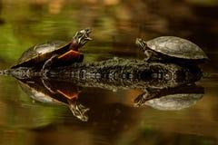Målat tala för sköldpaddor Royaltyfria Foton