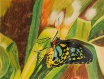 Målning av den röseBirdwing fjärilen Arkivbild
