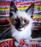 4 månad gammal Birman Balinese Kitten Closeup arkivfoto