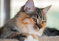 7-månad-gammal Medel-Haired Torbie w/White kattunge Arkivfoton