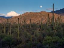 Måne över kaktusskog Arkivfoto