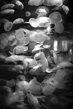 Måne Jelly Fish Bloom Royaltyfri Fotografi